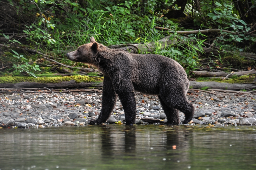 Grizzly Atnarko River