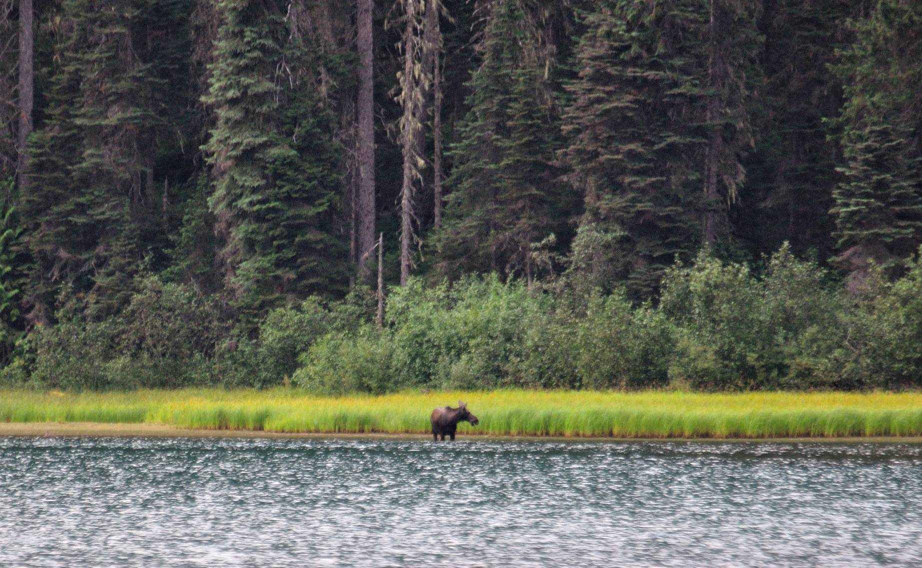 Moose am Ghost Lake